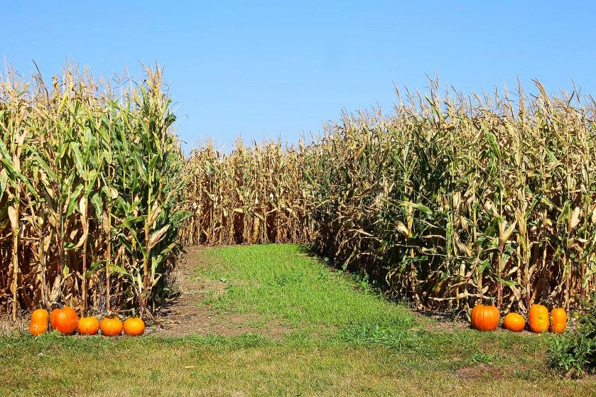 7-75-corn-maze-1
